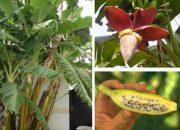 Bài thuốc dân gian chữa bách bệnh từ cây chuối hột