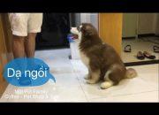 Chó Mật siêu ngoan ,cách dạy chó ngồi theo lệnh chủ nè ^^ – Mật Pet Family