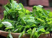 Cách chữa bệnh cho trẻ nhỏ nhờ rau ngót trong vườn nhà