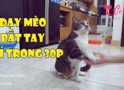 [Cô Kim] Dạy mèo bắt tay chỉ trong 30p   Teach your Cat to Shake Hands